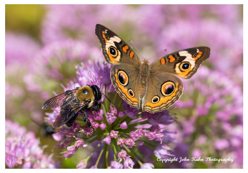 Common Buckeye and Bumble Bee