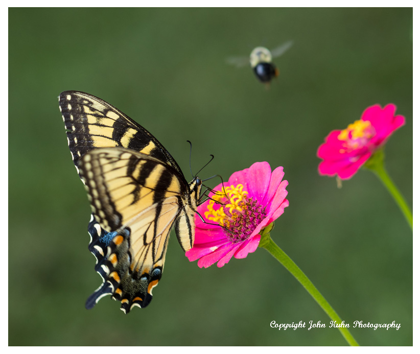 Swallowtail on Zinnia with Bumble Bee