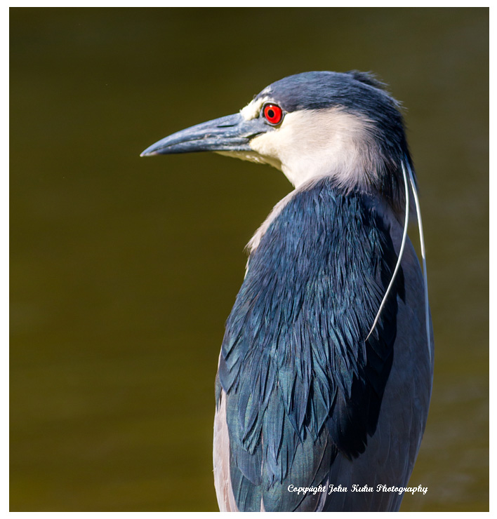 Black Crowned Night Heron Profile