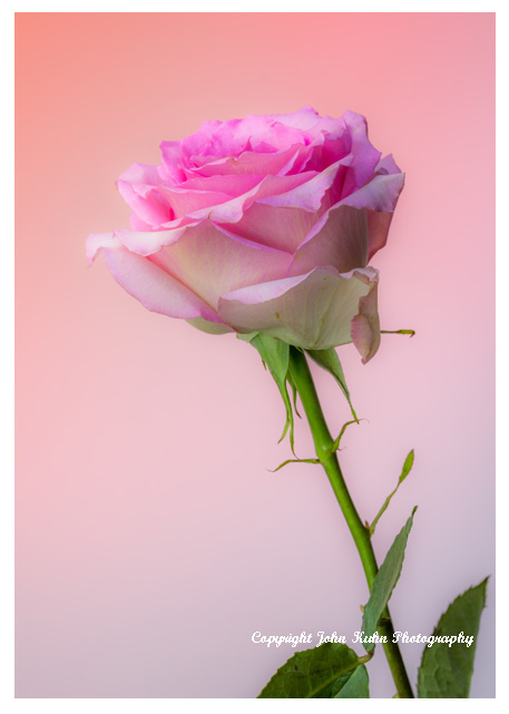 Pink Rose Peach Background