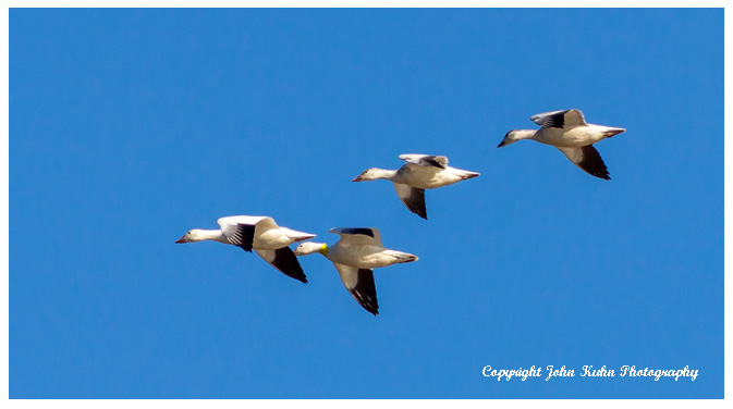 Flight Pattern of Snow Geese