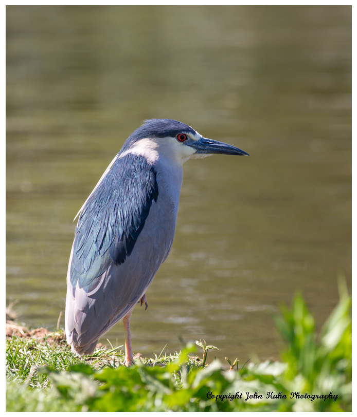Black Crowned Night Heron by Lake
