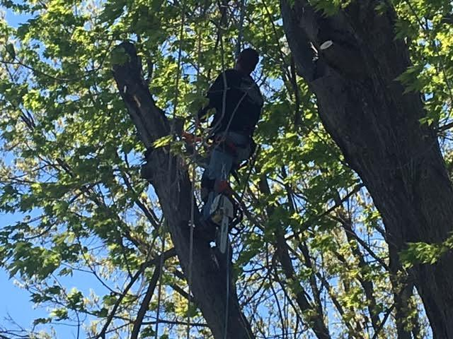 Arrow Tree Service uses tools and techniques to ensure safe tree removal operations in Toledo, Ohio.